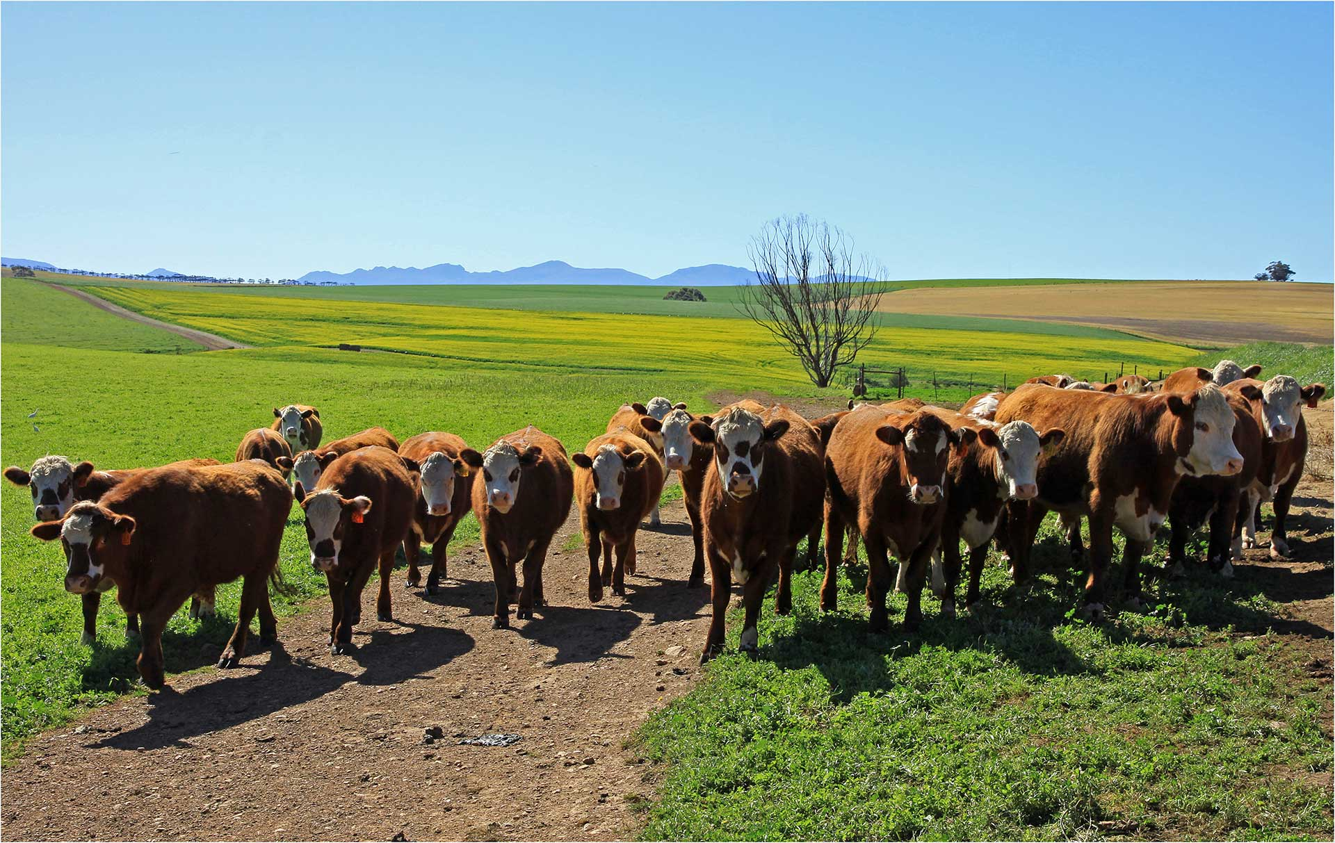 2011-269-Cattle