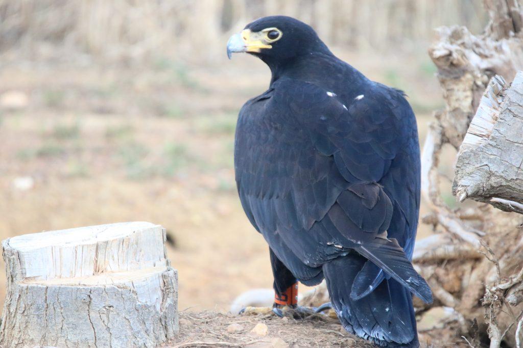 IMG_8511 black eagle